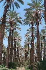 Medjool date palms